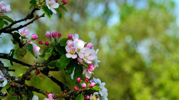 Streuobst Apfelbaum
